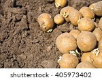 Soil And Potatoes. Harvest Tim...