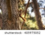 Beautiful Red Squirrel Sciurus...