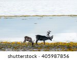 Reindeer Eating Grass Infront...