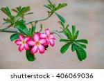Adenium Obesum  Desert Rose ...