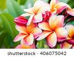 the beautiful plumeria flowers... | Shutterstock . vector #406075042