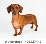 Dog  Dachshund  Breed  On A...