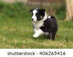 Australian Shepherd Dog Puppy ...