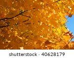 golden color of maple leaves | Shutterstock . vector #40628179