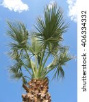 Fan Palm  Chamaerops Excelsa ...