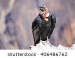 Andean Condor  Vultur Gryphus ...