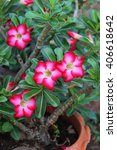 Small photo of Pink Adenium flower