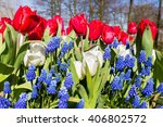 Red White Blue Tulips And Grap...