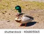 mallard duck walking on grass... | Shutterstock . vector #406805065