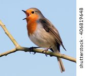 Cheerful Male European Robin ...