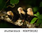 white headed capuchin  cebus... | Shutterstock . vector #406958182