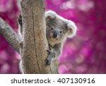 Koala Bear in zoo.