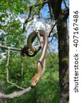 Small photo of Aesculapian snake (Zamenis longissimus)