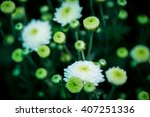 Beautiful White Chrysanthemums...
