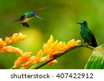 Small photo of Two hummingbirds, Empress Brilliant, Heliodoxa imperatrix perched on wet stem of orange flower and Andean Emerald, Amazilia franciae hovering over the flower, against green background. Colombia.