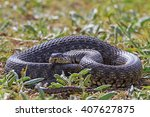 A Large Snake In The Grass...