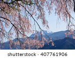 beautiful old weeping cherry... | Shutterstock . vector #407761906