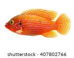The African Jewelfish ...