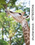 Beautiful Giraffe Close Up ...