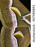 Small photo of Ailanthus silkmoth, Samia cynthia