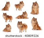 many pomeranians   sitting ... | Shutterstock . vector #40809226