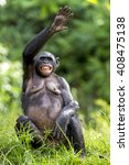 Chimpanzee Bonobo Sits With Th...