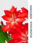 Bright Red Christmas Cactus ...