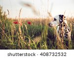 Cute Dalmatian Dog In A...