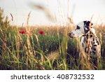 Cute Dalmatian Dog In A...