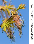 Small photo of Box elder maple (Acer negundo) flower in spring