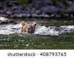 Grizzly Bear Swimming Across A...