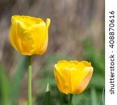 Two Yellow Tulips In The Sprin...