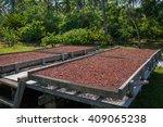 Organic cocoa beans sun drying on a farm in the Solomon Islands
