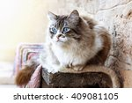 ragdoll cat resting during the... | Shutterstock . vector #409081105