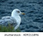 Proud Seagull.