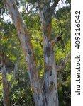 eucalyptus tree  akamas forest  ... | Shutterstock . vector #409216042