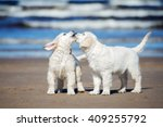 Stock photo golden retriever puppies on the beach 409255792