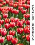 field of red tulips in summer...   Shutterstock . vector #409456996