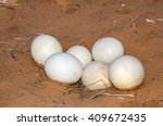 Clutch of the eggs   -  the largest eggs of any living bird -  abandoned by the ostrich in the Kalahari Desert, Namibia.
