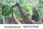 Giraffe With A Long Neck Eatin...