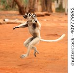 Dancing Lemurs Of Madagascar I...