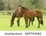 Thoroughbred Bay Horses Grazin...