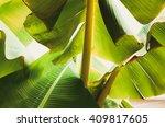 banana leaf backlit sun... | Shutterstock . vector #409817605