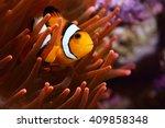 Amphiprion Ocellaris Clownfish...