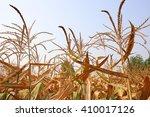 corn field | Shutterstock . vector #410017126