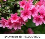 pink azaleas in full swing | Shutterstock . vector #410024572