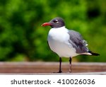 A Seagull  Larus Canus   With ...
