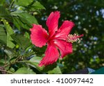 China Rose  Hibiscus   Gumamela