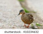 Duck Bird. Amazing Brown...