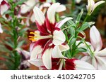 Brown And White Lilly Flower...